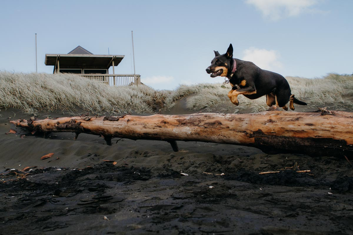 Action pet portrait photo of dog jumping over log on muriwai beach in auckland by sarah weber photography
