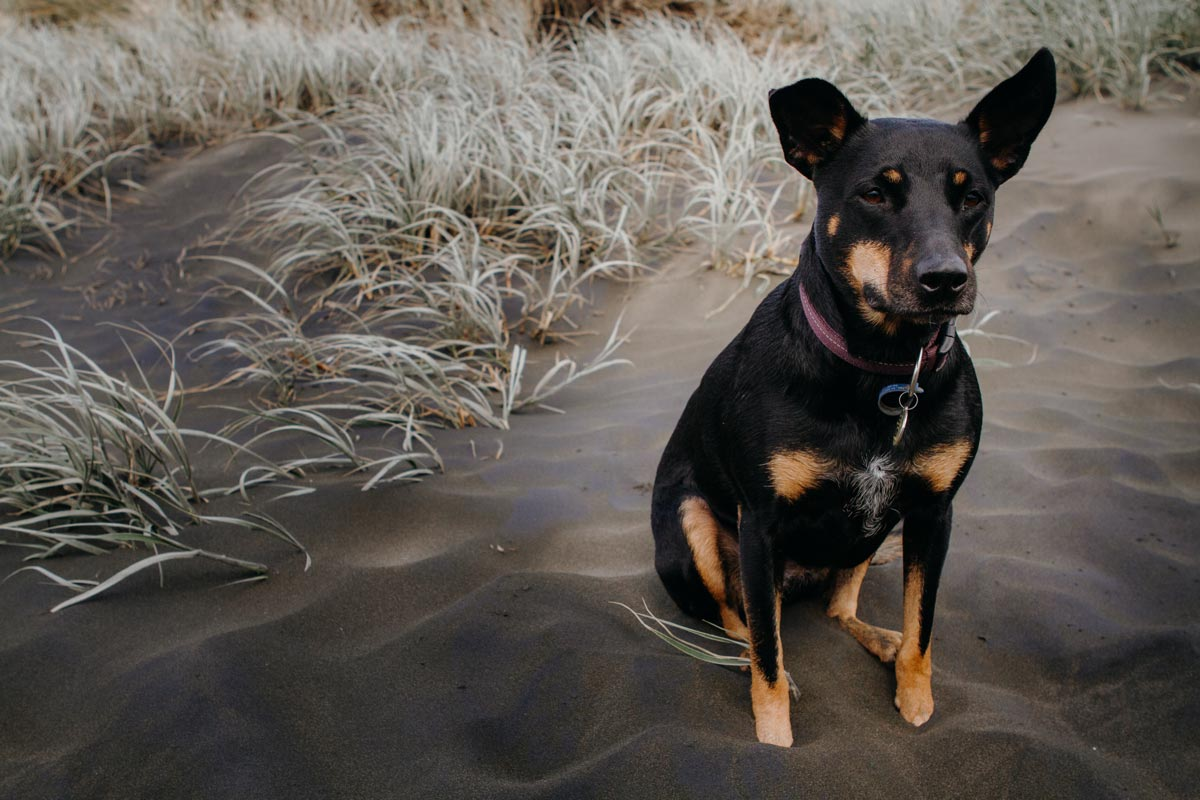 Pet portrait photo of dog at muriwai beach in auckland by sarah weber photography