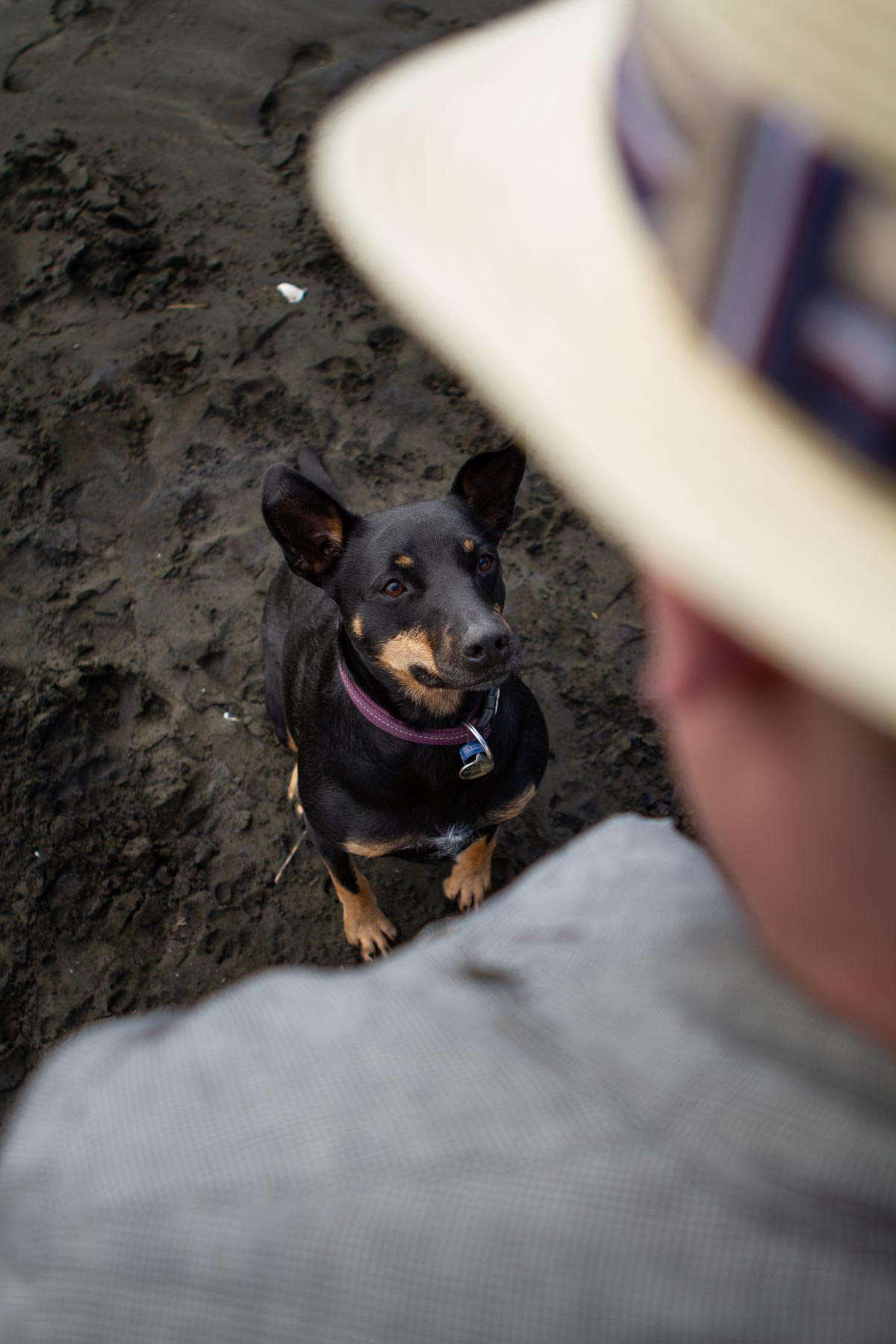 Pet portrait photo of dog looking at owners on muriwai beach in auckland by sarah weber photography