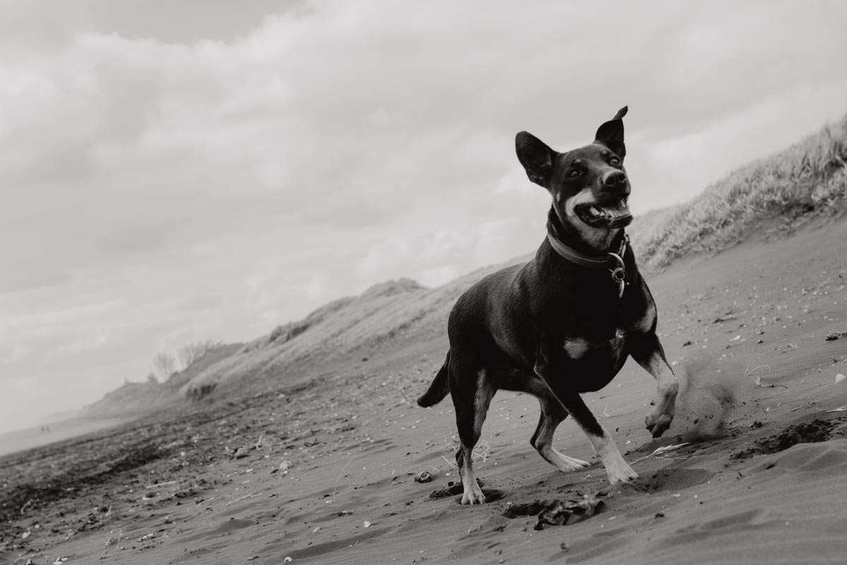 Dog running in pet portrait taken on muriwai beach in auckland by sarah weber photography